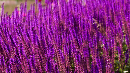 Lavender flower bed Stock Video Footage