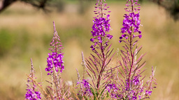 fireweed Stock Video Footage