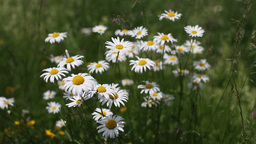 Chamomile flowers Stock Video Footage