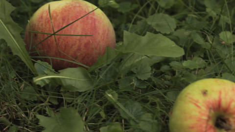Apples In Garden On A Grass stock footage