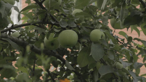 Ripe apples on a branch Footage
