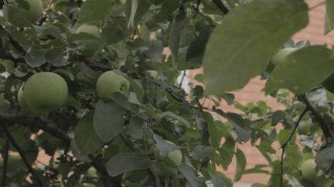 Ripe apples on a branch Stock Video Footage