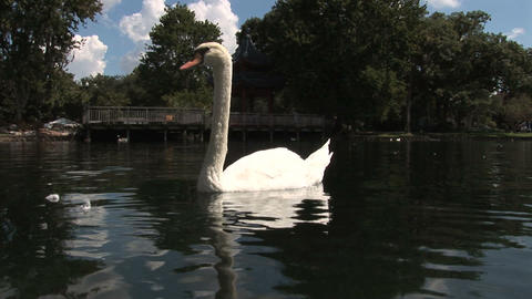 Swans in Lake Eola Stock Video Footage