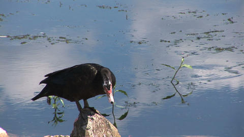 Young Muscovy duck Stock Video Footage