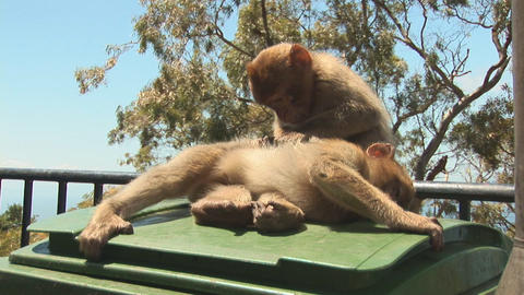 Barbary apes Stock Video Footage