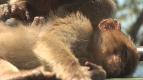 Barbara apes close Stock Video Footage