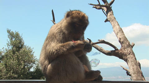 Barbary ape eats cookies Stock Video Footage