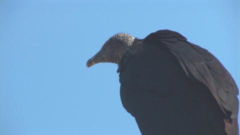Vulture cleaning beak Stock Video Footage