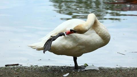Swan Stock Video Footage