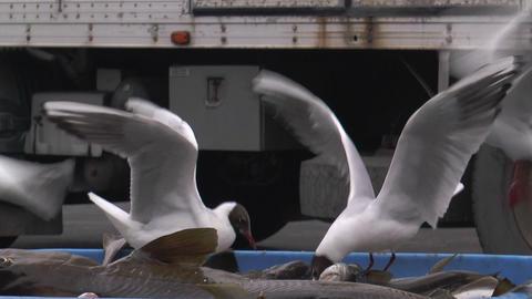 black headed gulls feeding on fish catch Stock Video Footage