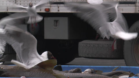 black headed gulls feeding on fish catch Footage