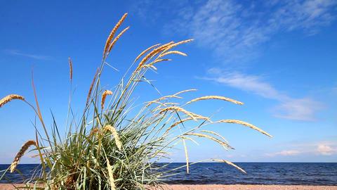 lyme grass (Elytnus) Footage