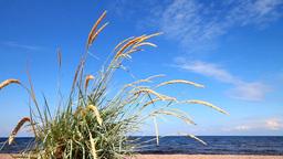 lyme grass (Elytnus) Stock Video Footage