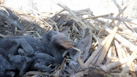 Baby birds of a cormorant Stock Video Footage