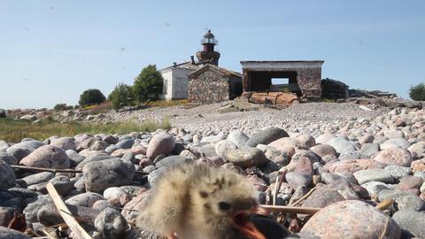 Arctic tern (Sterna paradisaea) Stock Video Footage
