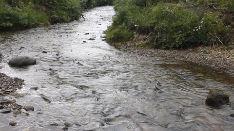 Humpback salmon on spawning Footage