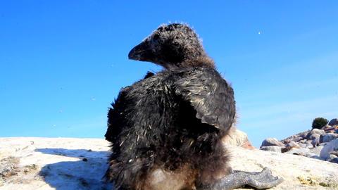 razorbill (Alca torda) chick Footage