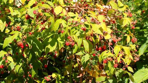 wild raspberry Stock Video Footage