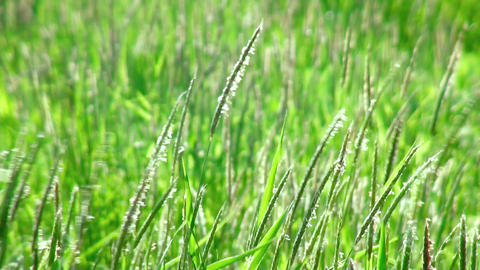 Green grass swaying in the wind. (life sound) Stock Video Footage