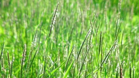 Green grass swaying in the wind. (life sound) Footage