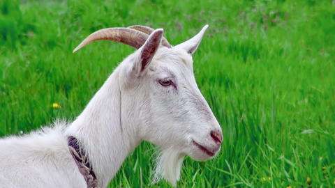 Goat on green meadow (life sound) Stock Video Footage