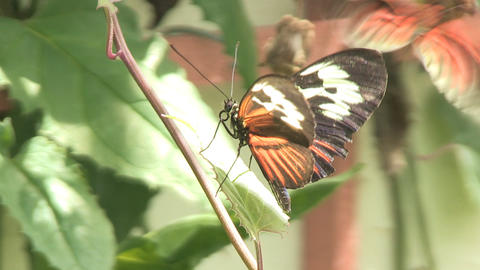 Two butterflies Stock Video Footage