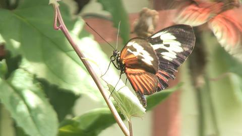 Two butterflies Stock Video Footage