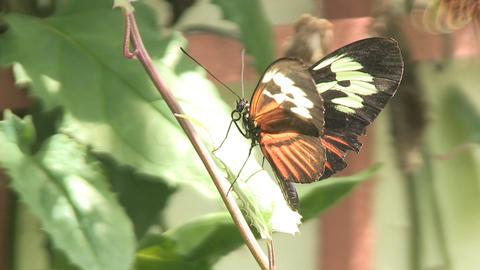 Two butterflies Footage