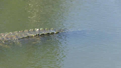 Alligator in a lake Stock Video Footage
