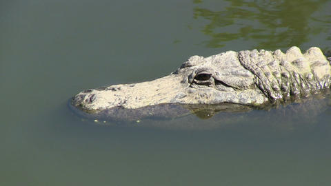Alligator closes eye Stock Video Footage
