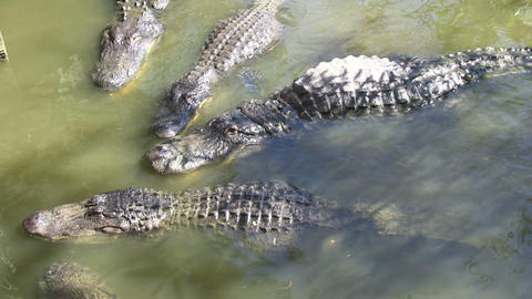Alligators fighting Footage