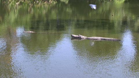 Alligators in a lake Stock Video Footage
