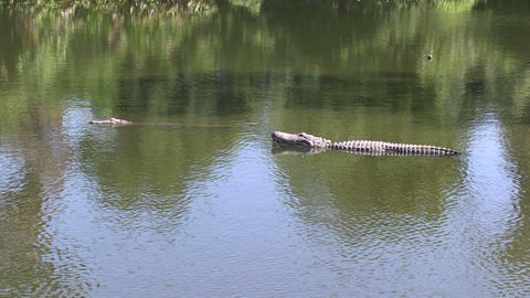 Alligators in a lake Footage