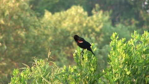 Red winging blackbird Stock Video Footage