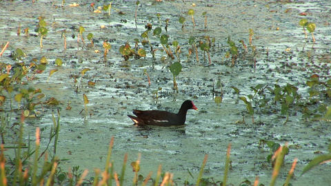 Muskovy duck Stock Video Footage
