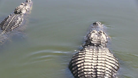 Swimming alligators Footage