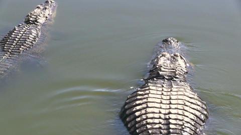 Swimming alligators Stock Video Footage
