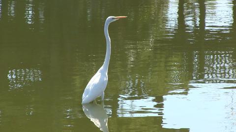 White egret Stock Video Footage