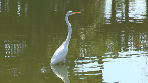 White egret Stock Video Footage