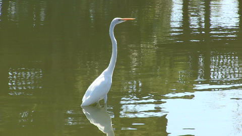 White egret Footage
