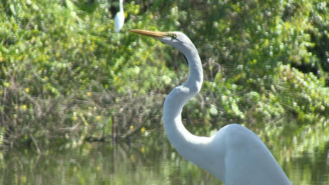 Whit egret Stock Video Footage