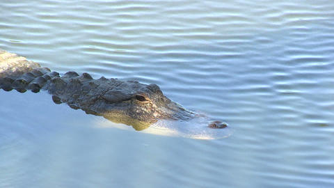 Alligator Stock Video Footage