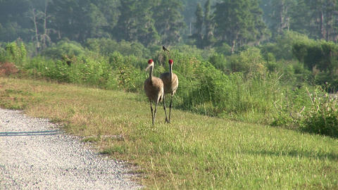 Sandhill cranes fighting Footage