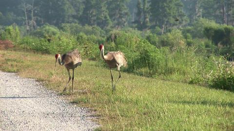 Sandhill cranes fighting Stock Video Footage