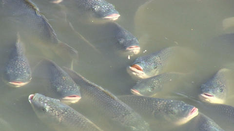 Fish begging for food Stock Video Footage