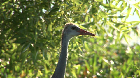 Young sandhill crane Stock Video Footage