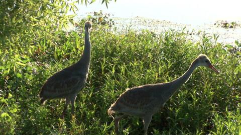 Sandhill cranes Stock Video Footage