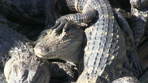 Gators in captivity Stock Video Footage