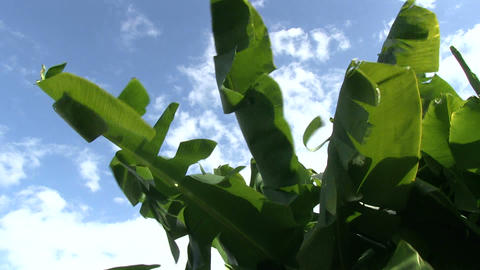 Banana tree Stock Video Footage