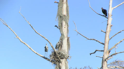 Heron's nest and buzzards Footage